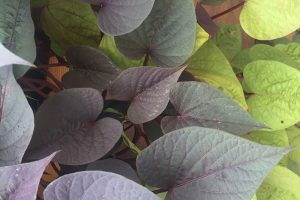 Are Ornamental Sweet Potatoes Edible?