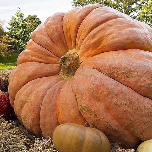 A close up of an enormous Cucurbita maxima 'Atlantic Giant' set on top of straw bales with trees in soft focus in the background.