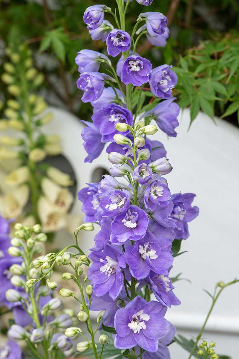 A vertical close up image of a light purple upright flower spike of delphinium 'Aurora' growing in the garden with a white fence in soft focus in the background.