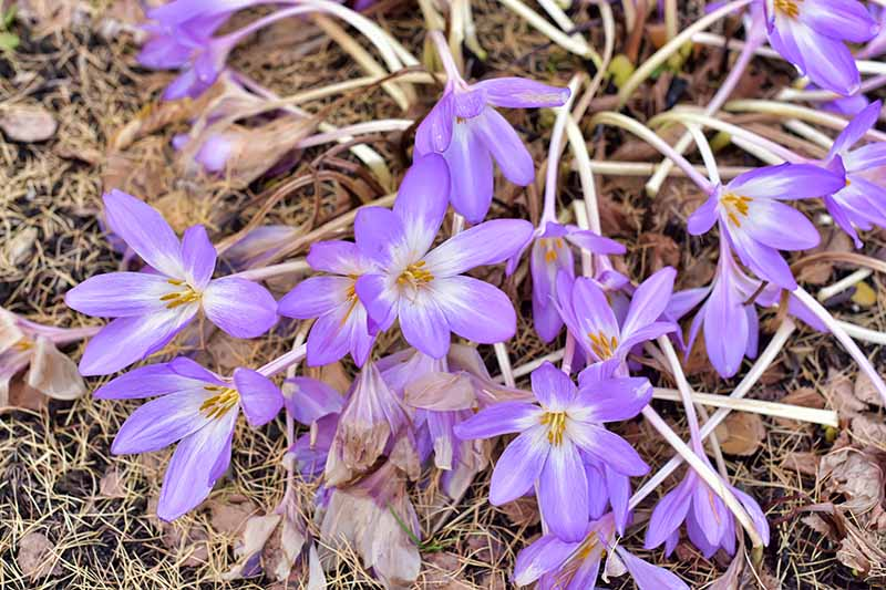 A close up horizontal image of small purple and white Colchicum autumnale flowers blooming in the fall garden surrounded by fallen leaves.