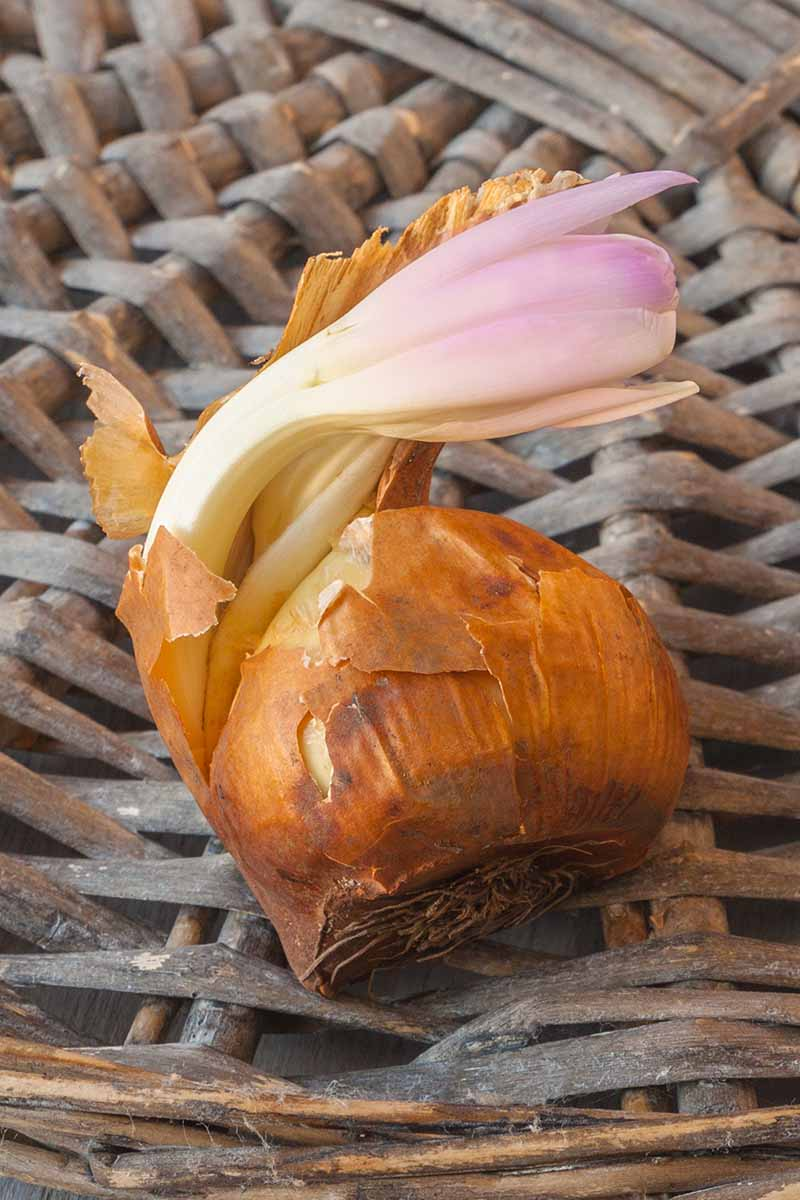A vertical close up image of a Colchicum autumnale bulb set in a wicker basket showing how the flower will emerge from the bulb even before it's planted out in the garden.