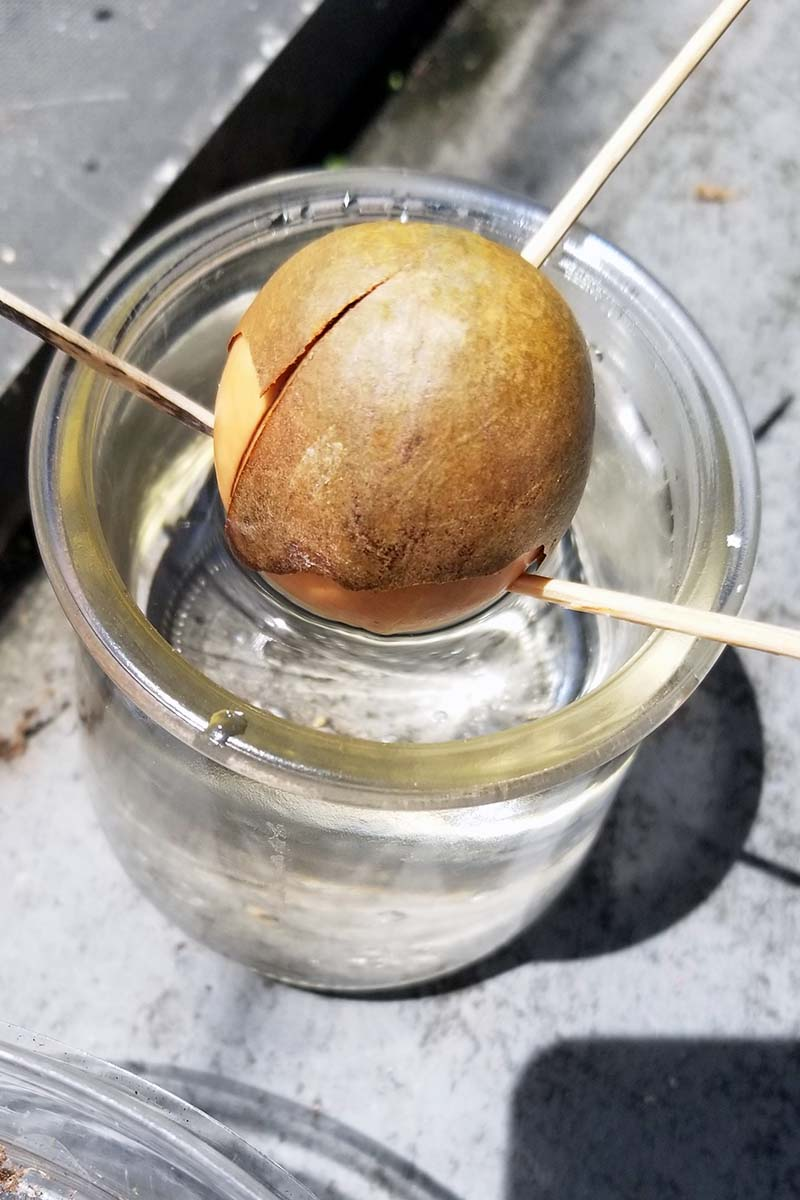 A close up vertical image of a small glass jar with an avocado seed set inside, supported by toothpicks to keep it above the water level, set on a concrete surface.