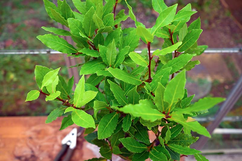 A close up horizontal image of a small Laurus nobilis tree growing in a container on a windowsill with pruning shears in soft focus in the background.