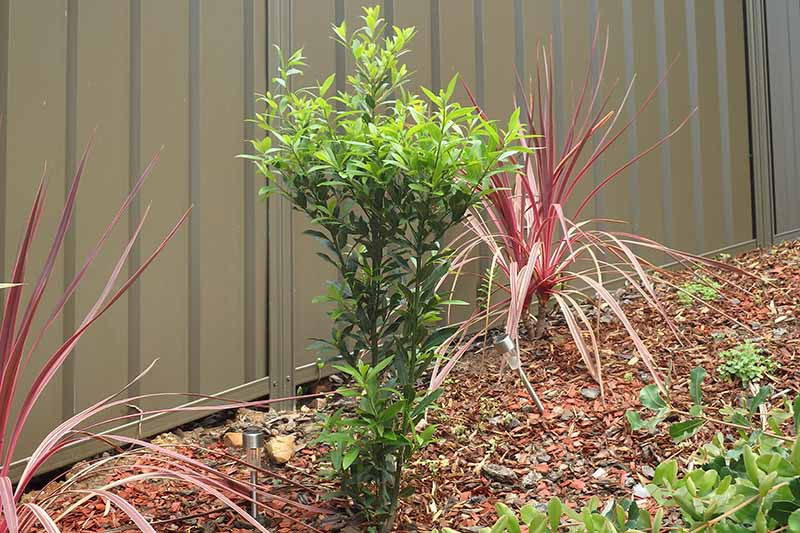 A close up horizontal image of a small Laurus nobilis tree growing in the garden, recently pruned, with mulch on the ground, and a metal fence in the background.
