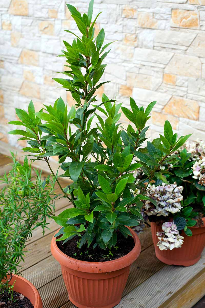 A vertical image of a small Laurus nobilis plant growing in a small plastic container on a wooden surface with a brick wall in the background.