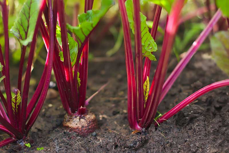A close up horizontal image of beet plants growing in the garden surrounded by dark soil pictured in filtered sunshine and fading to soft focus in the background.