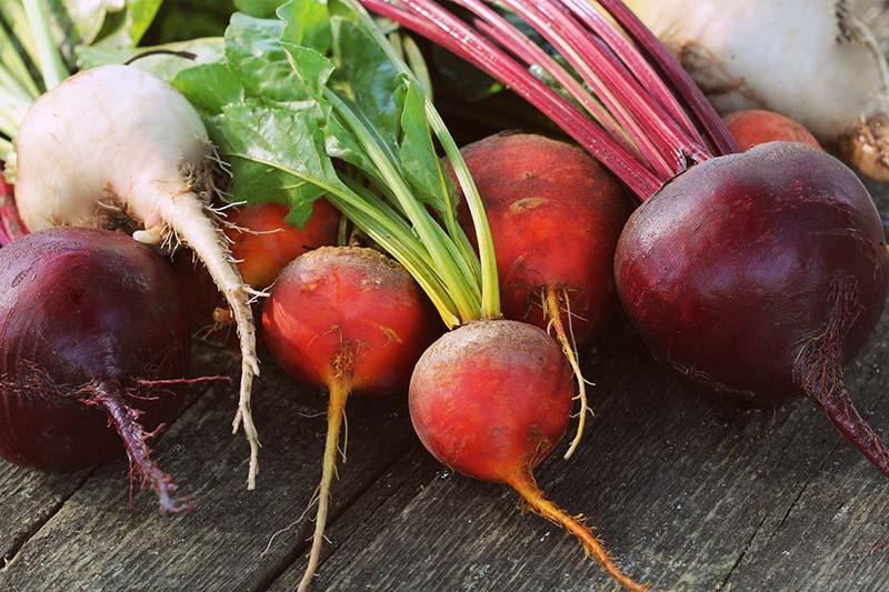 A horizontal image of red, golden, and white beetroots freshly harvested and set on a wooden surface.