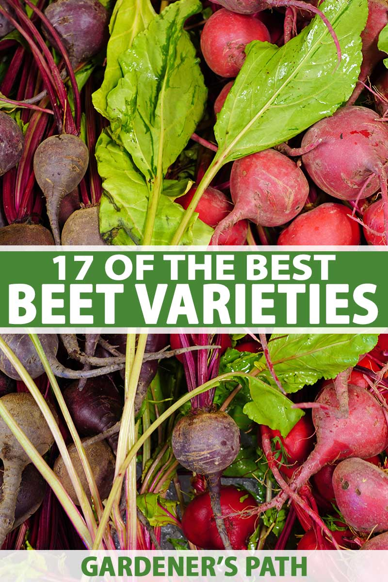 A vertical image of a pile of beets in different colors to show the variety of cultivars available. To the center and bottom of the frame is green and white printed text.