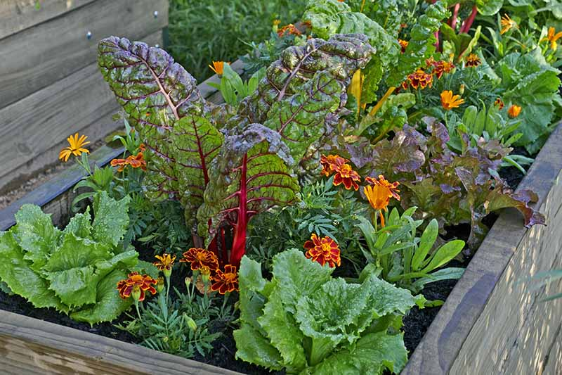 A close up horizontal image of a wooden raised garden bed planted with chard, lettuce, marigolds, and a variety of other companion plants, pictured in light sunshine.