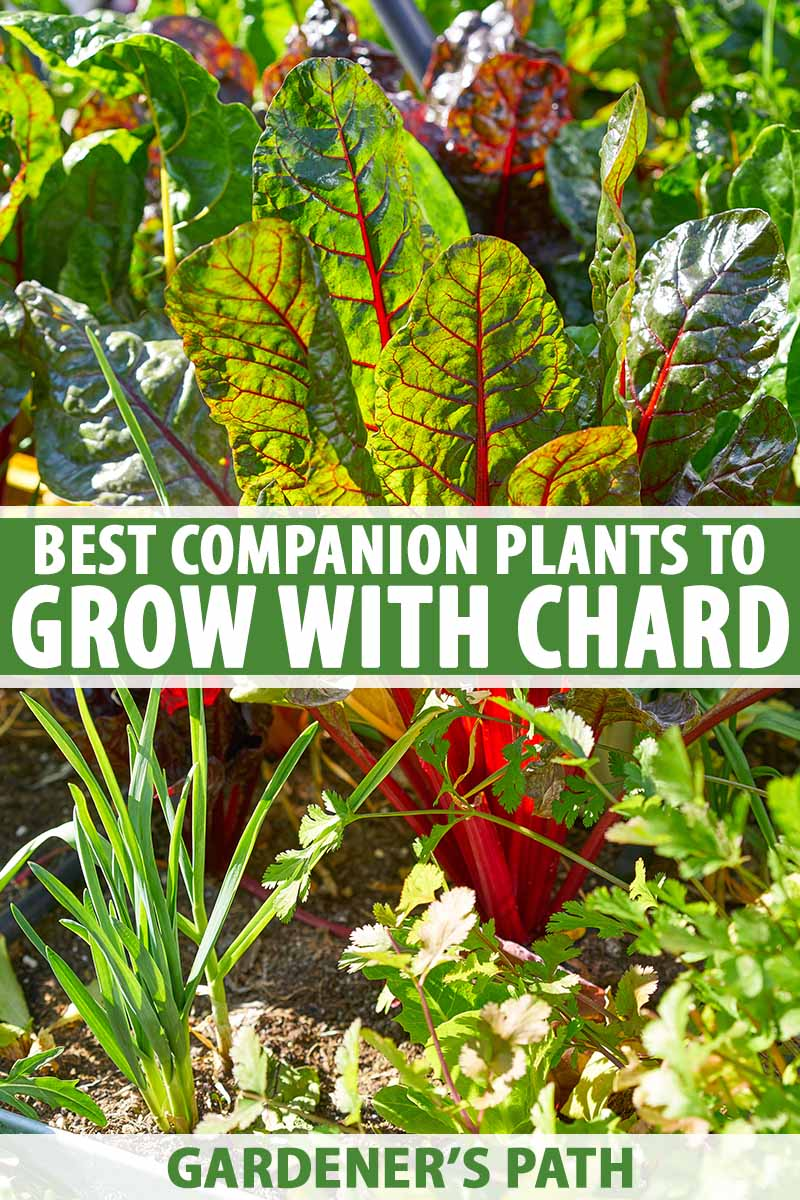 A vertical image of a raised garden bed planted with a variety of different vegetables, including Swiss chard and different herbs, pictured in bright sunshine. To the center and bottom of the frame is green and white printed text.