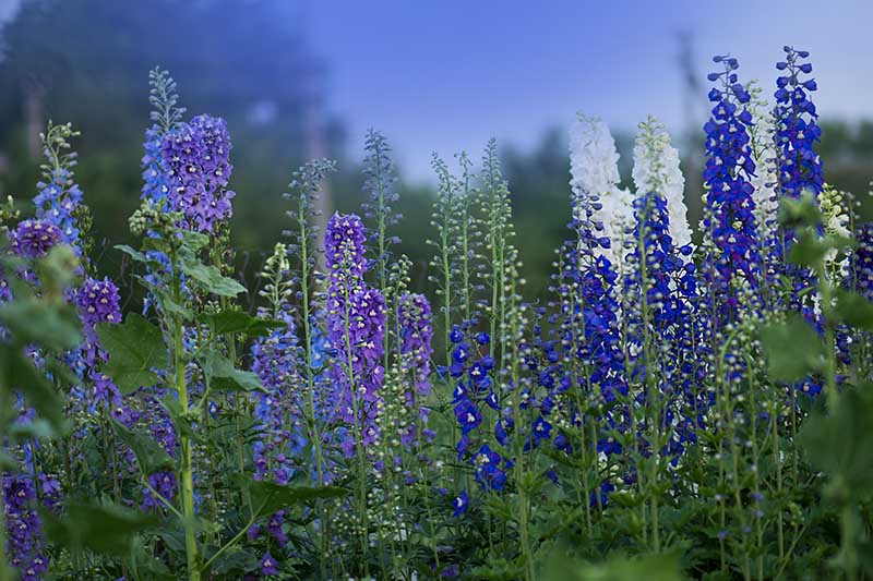 A horizontal image of blue, purple, and white delphiniums growing in the garden with blue sky and trees in soft focus background.
