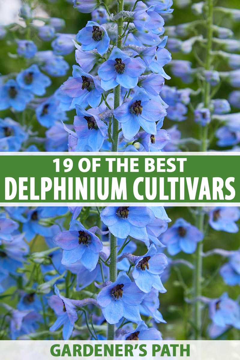 A vertical close up image of a bright blue delphinium growing in the garden with upright flower stalks, pictured on a soft focus background. To the center and bottom of the frame is green and white printed text.