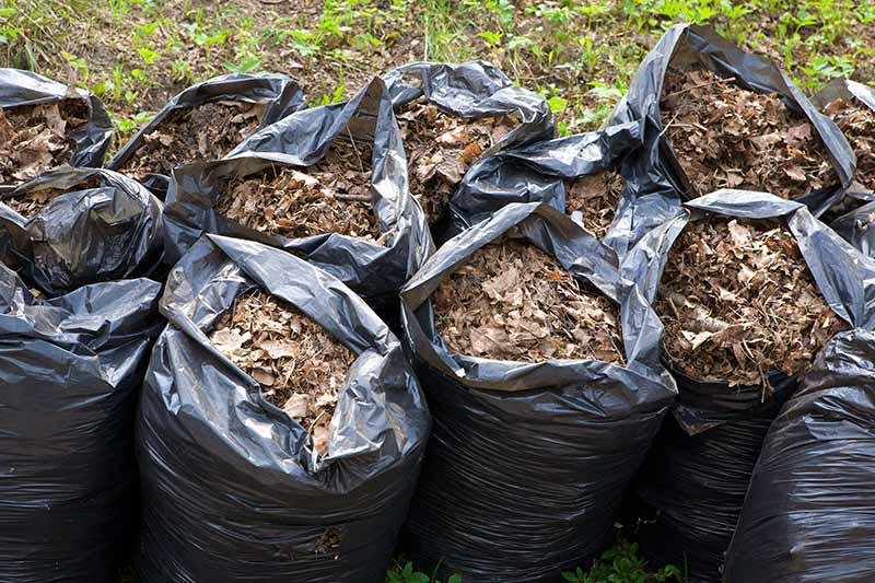 A close up horizontal image of two rows of black plastic sacks filled with collected autumn leaves for composting.