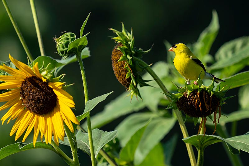 A close up horizontal image of large yellow flowers in the garden with a bird feeding on the seeds, pictured in bright sunshine with foliage in soft focus background.