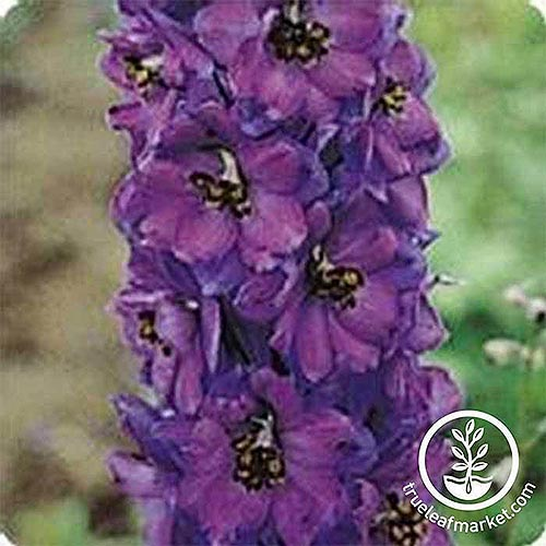 A close up, square image of a dark purple upright flower growing in the garden on a green soft focus background. To the bottom right of the frame is a white circular logo and text.
