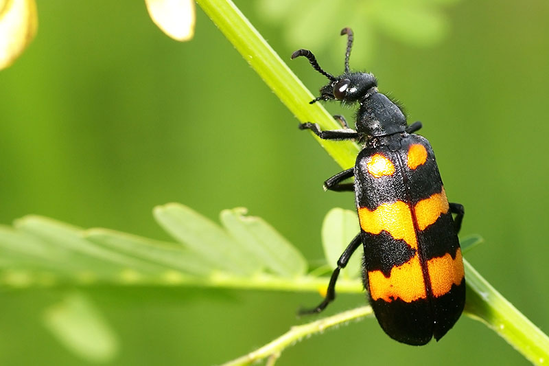A close up horizontal image of a black and yellow blister beetle on the stem of a plant pictured on a soft focus background.