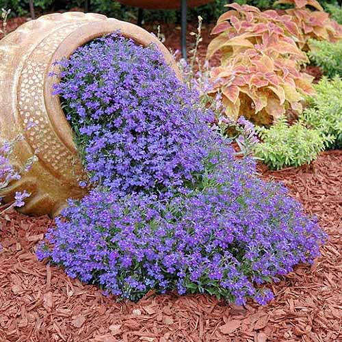 A square image of a terra cotta pot, situated on its side with purple L. erinus 'Blue Carpet' flowers spilling out of it onto a mulched garden. In the background are other plantings in soft focus.
