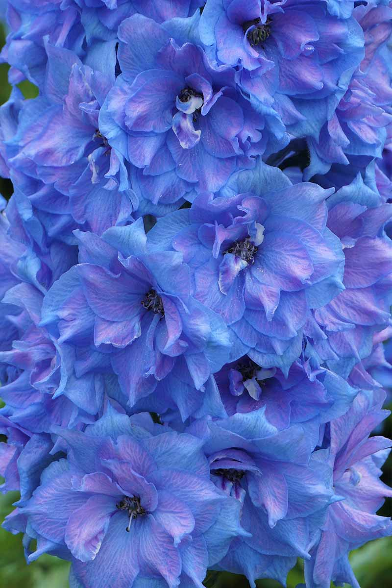 A vertical close up image of a bright blue flower growing on an upright stalk.