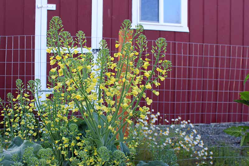 A close up horizontal image of a Brassica plant that has bolted and produced bright yellow flowers, with a wooden house in soft focus in the background.