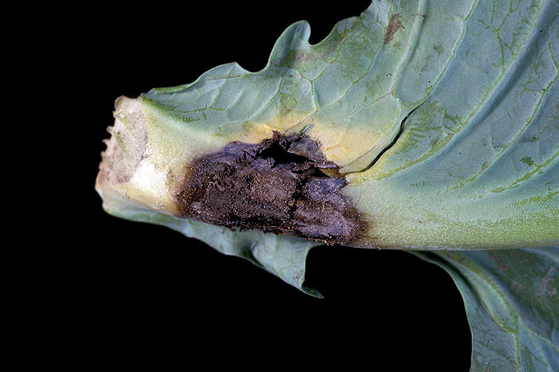 A close up horizontal image of the foliage of a cabbage plant suffering from bottom rot, showing a black lesion.