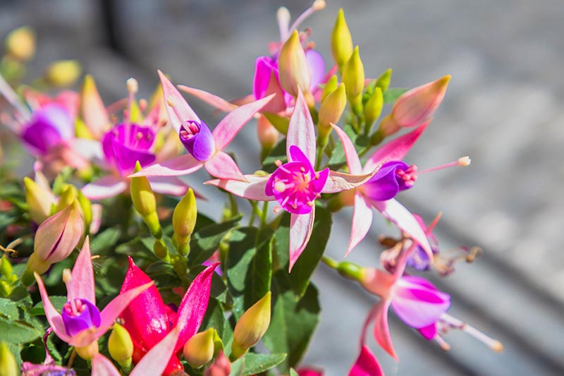A close up horizontal image of bright pink and purple fuchsia flowers growing in a container in bright sunshine pictured on a soft focus background.