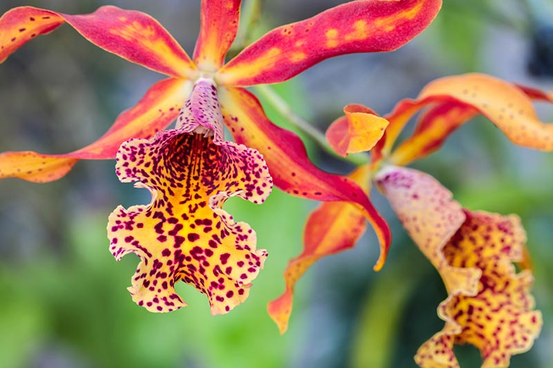 A close up horizontal image of bright red and orange orchid flowers pictured on a soft focus background.