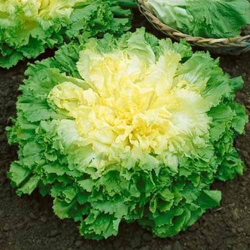 A close up square image of a 'Broadleaf Batavian' lettuce growing in the garden, with a wicker basket in the background in soft focus.