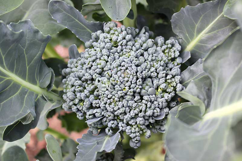 A close up horizontal image of a broccoli head pictured in the garden surrounded by foliage on a soft focus background.