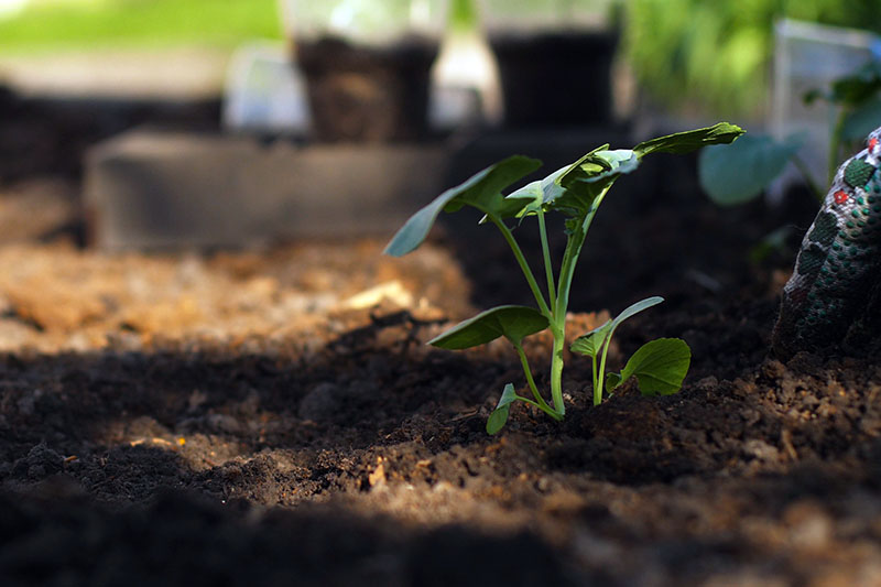 A close up horizontal image of a small broccoli seedling growing in dark rich soil pictured in light filtered sunshine.