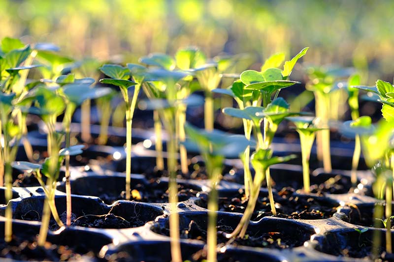 A close up horizontal image of a black plastic seedling tray with small sprouted broccoli seedlings, pictured in light sunshine on a soft focus background.