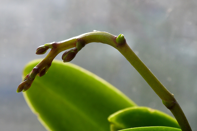 A close up horizontal image of orchid flower buds pictured on a soft focus background.