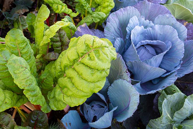A close up top down horizontal image of Swiss chard growing as a companion with cabbage in the garden.