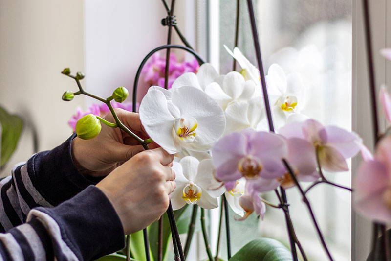 A close up horizontal image of two hands from the left of the frame installing a stake to hold up white orchid flowers.