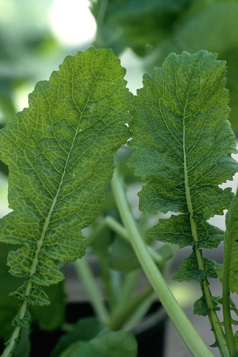 A vertical image of two leaves suffering from cauliflower mosaic virus showing discolored areas, pictured on a soft focus background.