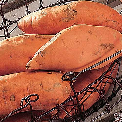 A close up square image of 'Centennial' tubers in a metal wire basket set on a wooden surface.