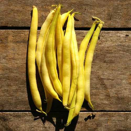 A close up square image of a pile of freshly harvested 'Cherokee Wax' yellow beans set on a wooden surface, pictured in bright sunshine.