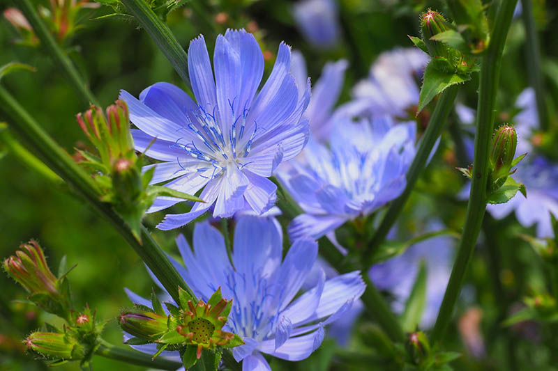 A close up horizontal image of the light blue flowers of Cichorium intybus growing in the garden, pictured in bright sunshine on a soft focus background.