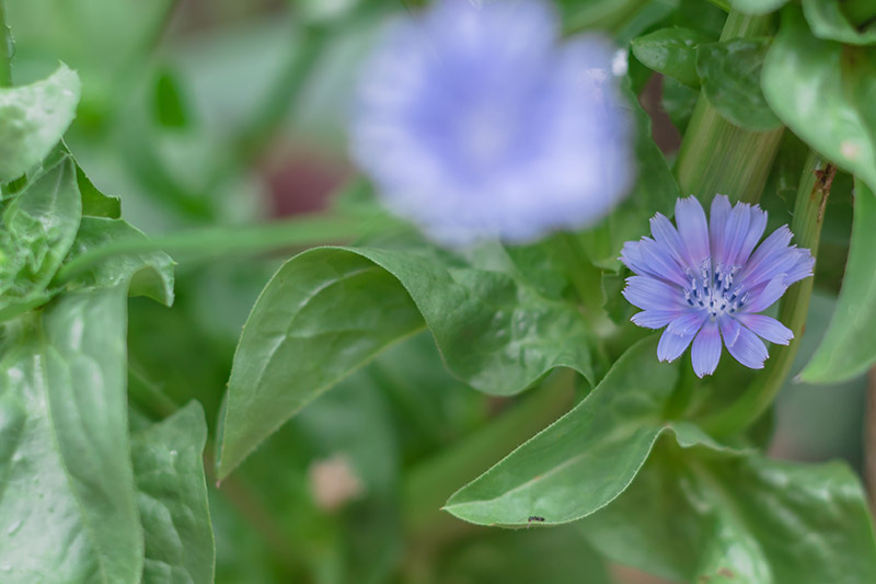 A close up horizontal image of a small blue flower and leaves of Cichorium intybus growing in the garden on a soft focus background.
