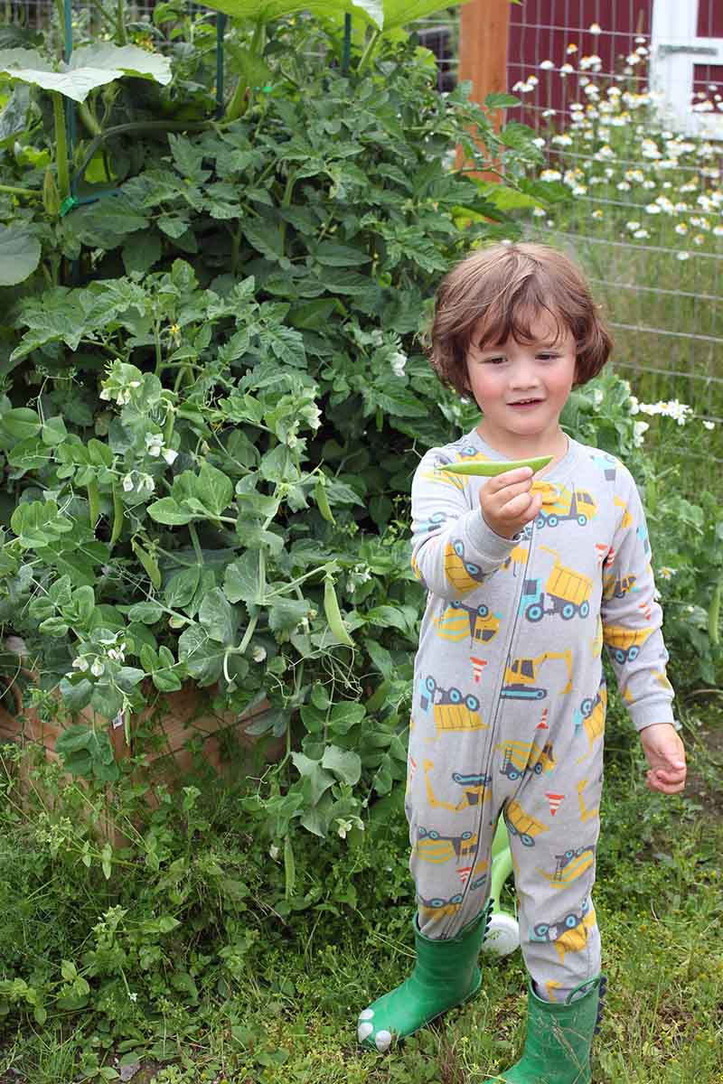 A close up vertical picture of a young boy picking peas from a plant in a raised garden bed, dressed in a onesie and wearing green boots.