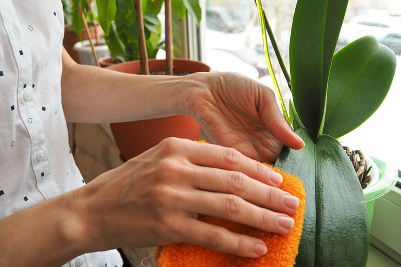 A close up horizontal image of two hands from the left of the frame cleaning the foliage of an orchid plant growing on a windowsill.