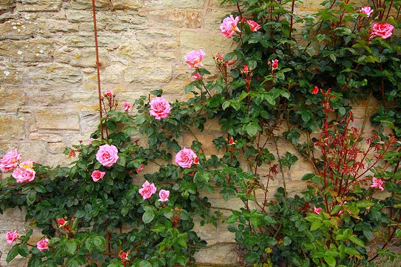A horizontal image of pink roses climbing up a stone wall on the side of a residence.