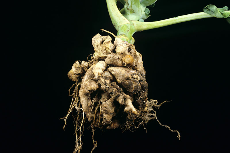 A close up horizontal image of a plant suffering from clubroot, caused by Plasmodiophora brassica, on a dark background.