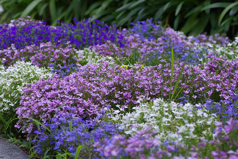 A colorful border with blue, white, and purple lobelia growing as trailing ground cover with foliage in soft focus in the background.