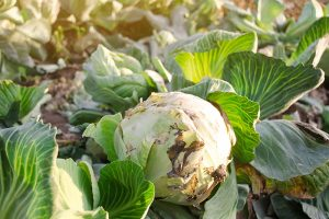 Identify, Prevent, and Treat Common Cabbage Diseases