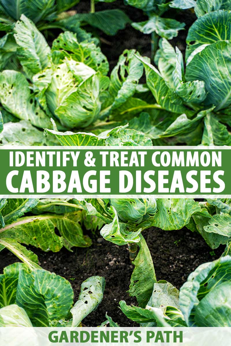 A vertical close up image of cabbages growing in the garden suffering from disease with soil visible in between the heads. To the center and bottom of the frame is green and white printed text.