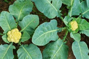 How to Identify, Prevent, and Control Common Cauliflower Diseases