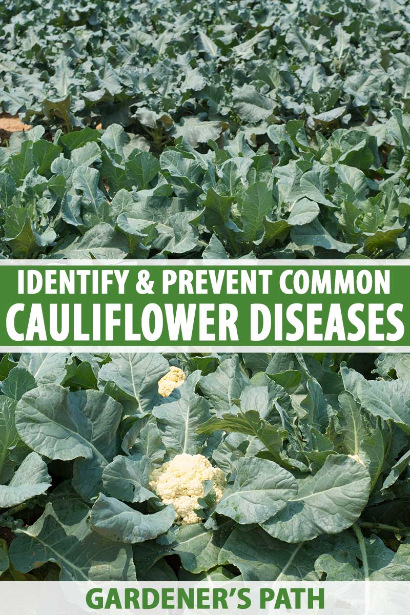 A close up vertical image of a field of cauliflower growing in the sunshine. To the center and bottom of the frame is green and white printed text.