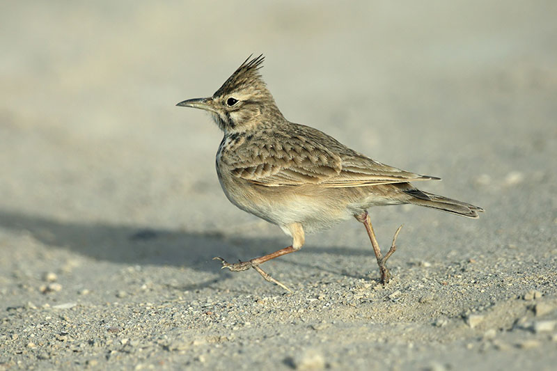 A close up horizontal image of a small lark (bird) walking along the ground, pictured on a soft focus background.