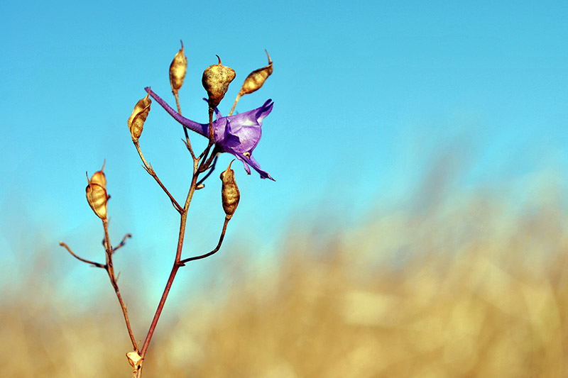 A close up horizontal picture of the upright purple flower and seed pods of Consolida regalis growing in the garden pictured on a blue soft focus background.
