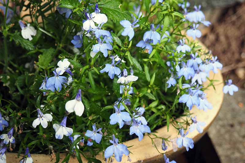 A close up horizontal image of pale blue garden lobelia growing in a terra cotta pot set on a wooden surface.